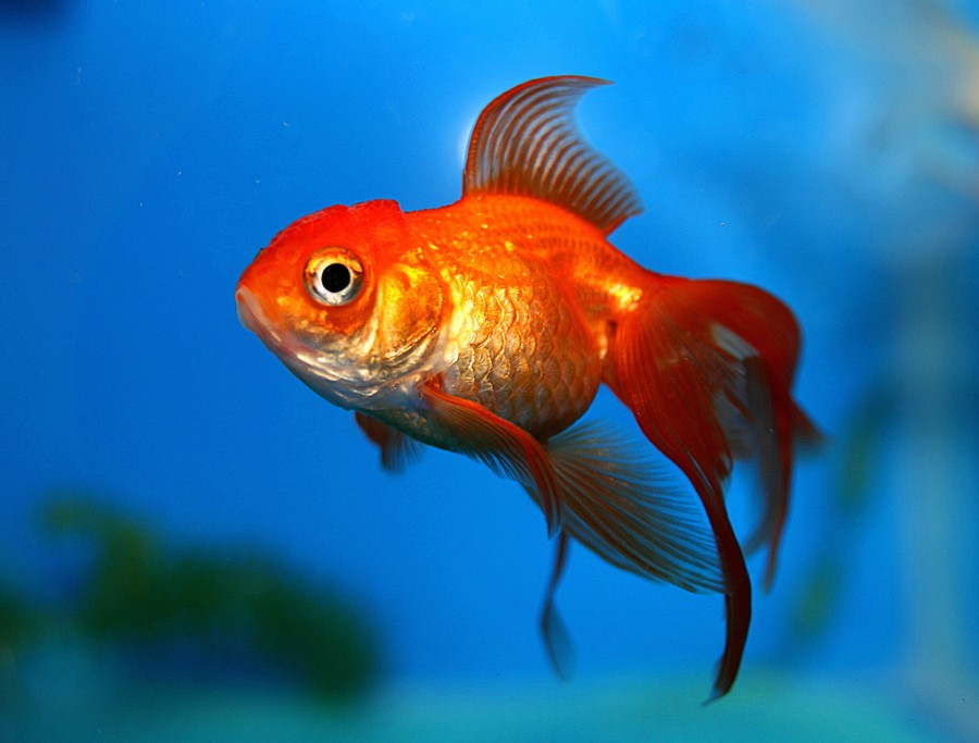 L 39 homme connect moins concentr qu 39 un poisson rouge for Achat poisson rouge paris 18