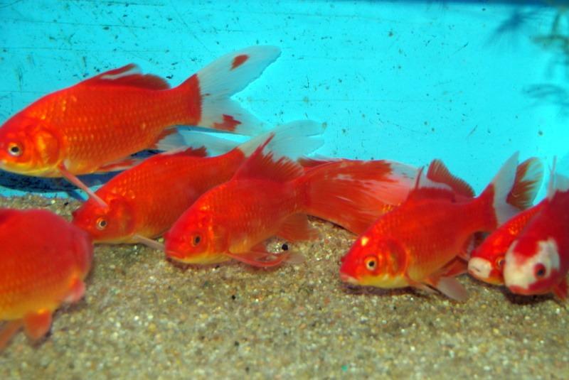 Au Japon, une mère a forcé sa fille à avaler 30 poissons rouges pour la punir.