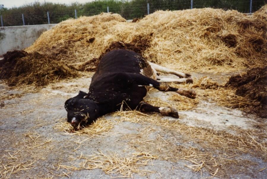 Un cas suspect de vache folle a été confirmé dans les Ardennes par le ministère de l'agriculture.