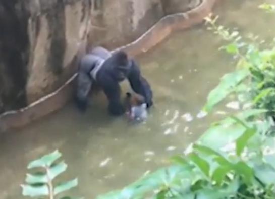 Un gorille du zoo de Cincinatti a été abattu par l'équipe d'intervention du zoo, pour sauver un petit garçon tombé dans son enclos.