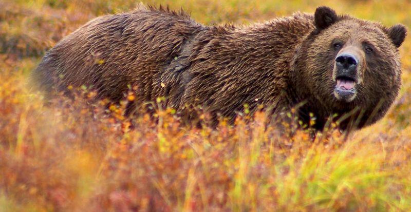Une femme meurt au Canada au cause d'un grizzly