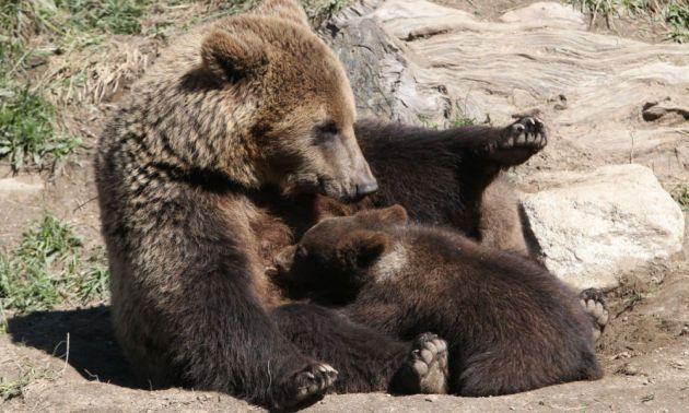 Une ourse avec son petit