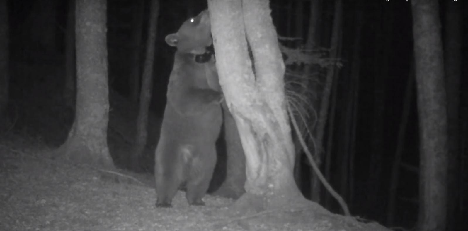 L'ourse filmée par une caméra