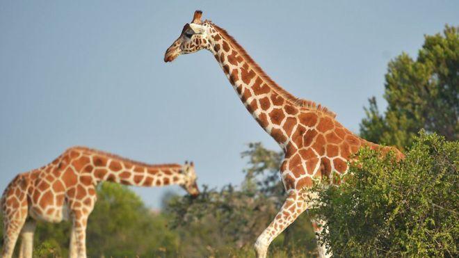 Photo de girafes