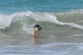 Un manchot qui fait du surf
