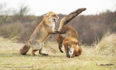 Des renards qui font de la gym