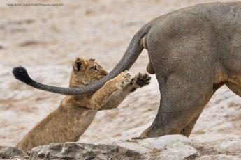 Un lionceau qui va attraper les bourses d'un lion