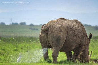 Un rhinocéros qui marque son territoire sur un oiseau