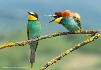 Deux oiseaux qui s'embrouille