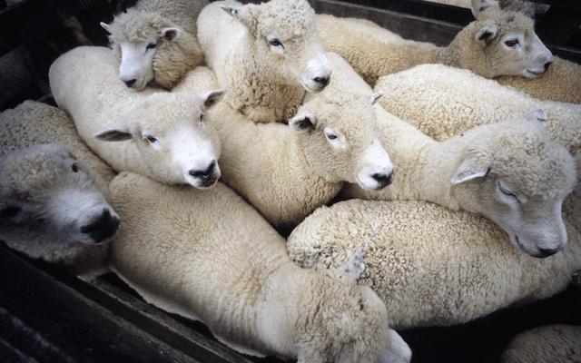 Une 10aine de moutons entassés