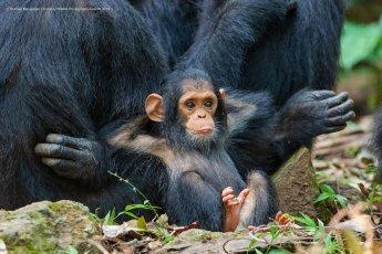 Un singe bien détendu