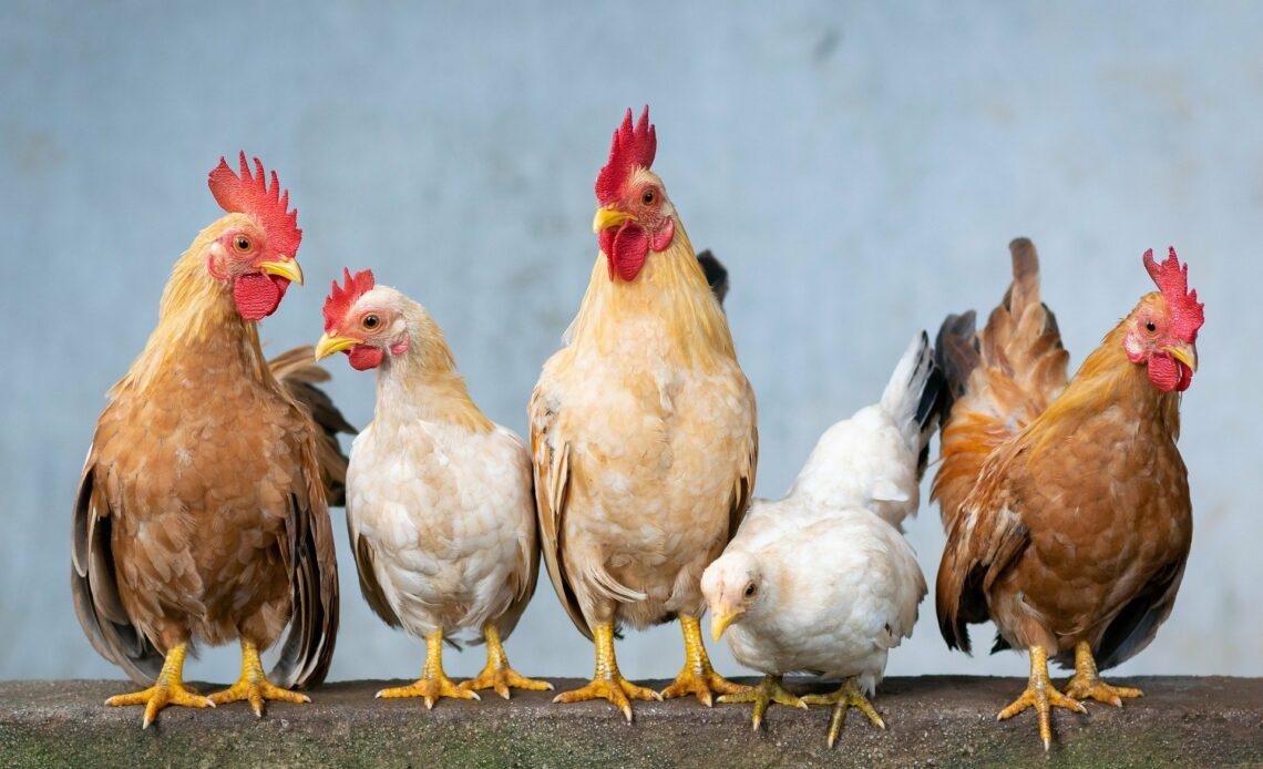 Singapour autorise la vente de viande artificielle