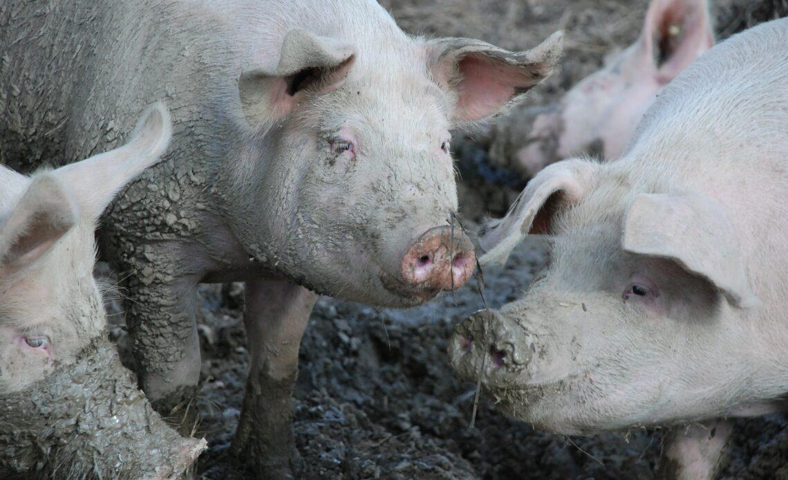 L214 dénonce les maltraitances animales d'une filière Herta