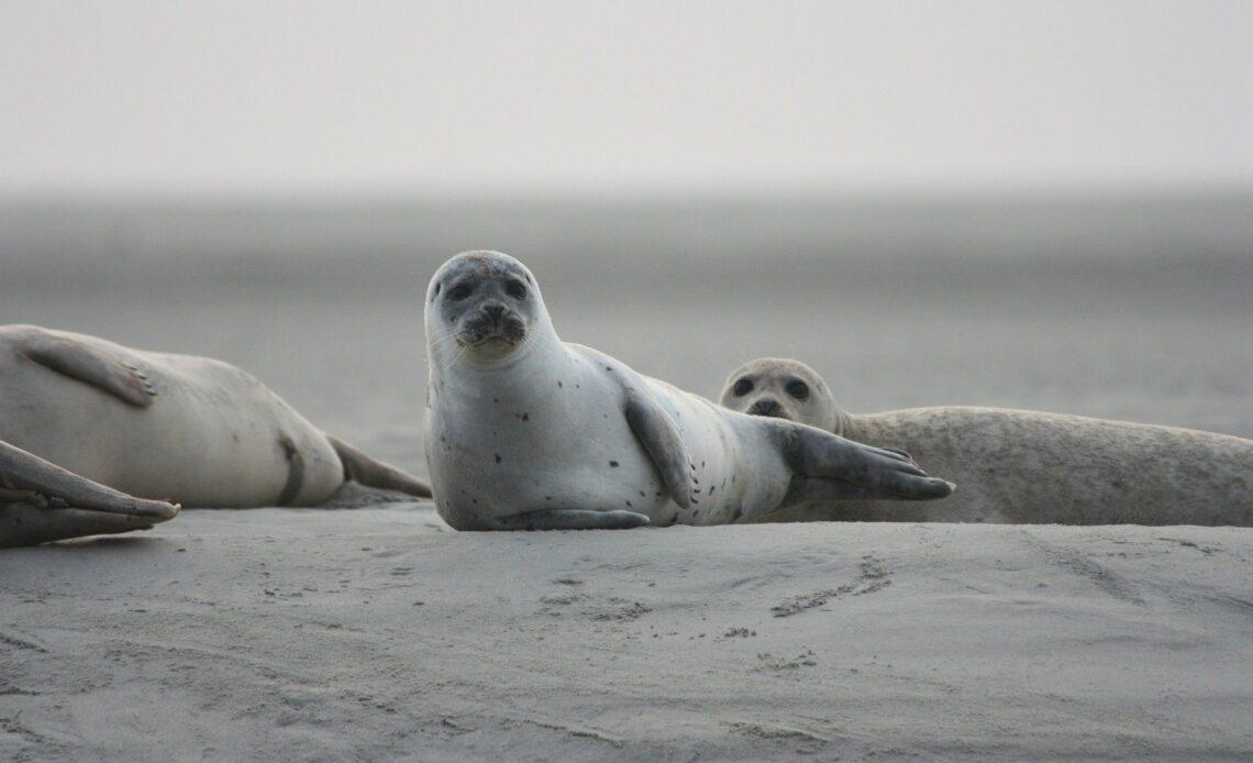 Près de 300 phoques retrouvés morts en Russie