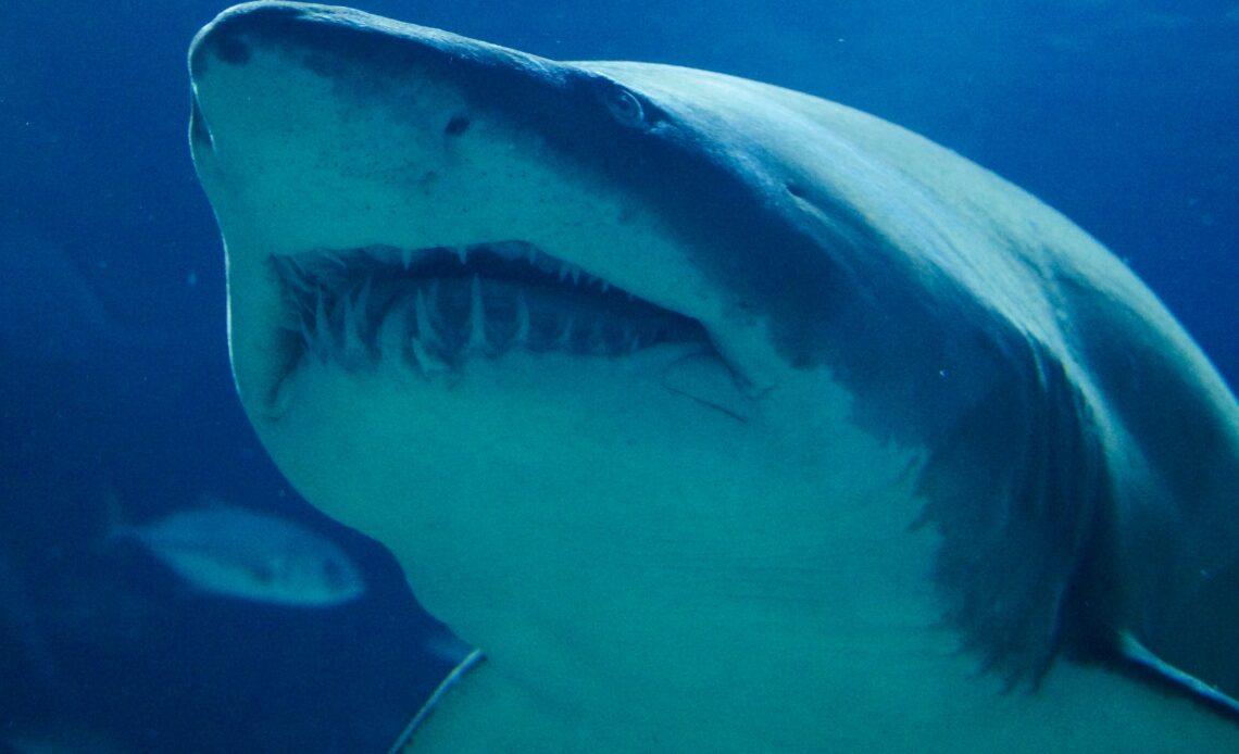 requin blanc Espagne